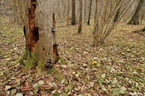 Bialowieza (arbre mort3)