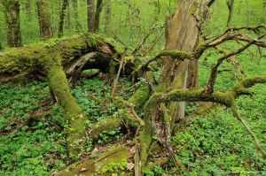 Bialowieza-avril (arbre mort)