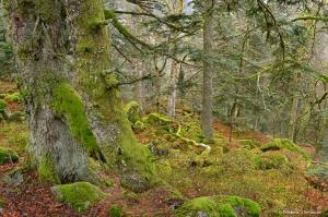 Caucasian forest