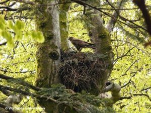 Hawk and nest