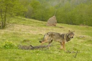 Wolf (Maramures)